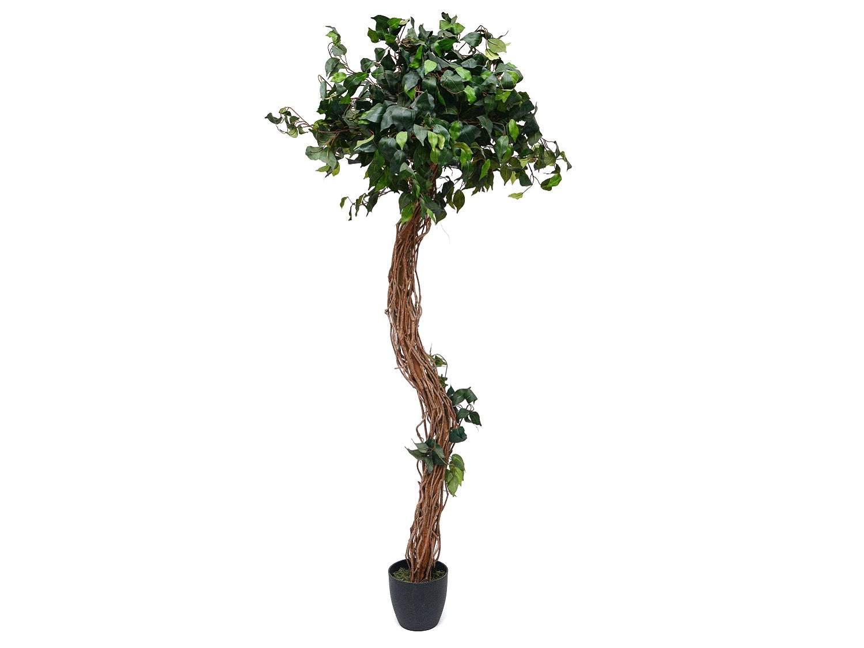 Curvy Vine Style Ficus Tree